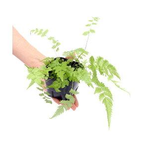 (観葉植物)ビバリウムプランツ おまかせシダ植物 3号ポット(1ポット) 北海道冬季発送不可