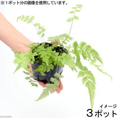 (観葉)ビバリウムプランツ おまかせシダ植物 3号ポット(3ポット)
