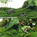 (テラリウム)ビバリウム用キューバパールグラス陸生コケミックス(水上葉)キューブタイプ(約4cm)(無農薬)(1個)