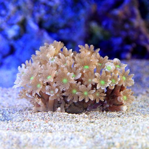 (海水魚 サンゴ)沖縄産 ツツウミヅタ ヘアリーセンターグリーン SSサイズ(1個)