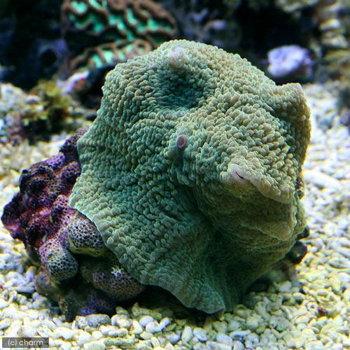 (海水魚 サンゴ)エレファントイヤー グリーン(1個)