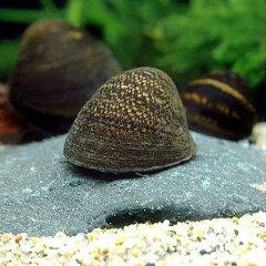 水槽や石の表面のコケを食べる!▼レッドリップ・スネール(2匹)