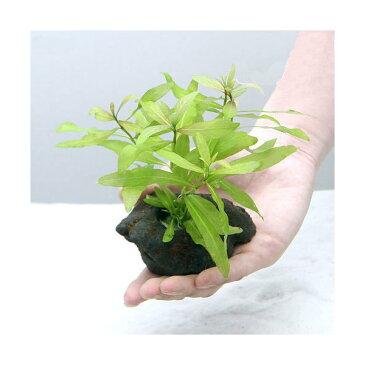 (水草)置くだけ簡単 ハイグロフィラ ポリスペルマ(水中葉) 穴あき溶岩石付(無農薬)(1個)