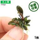 (水草)組織培養 ブセファランドラsp. Red(水上)(無農薬)(1株分)