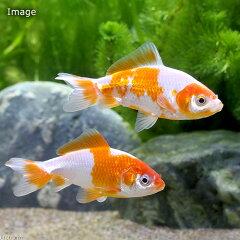 (淡水魚)更紗和金 当歳(国産)(1匹)