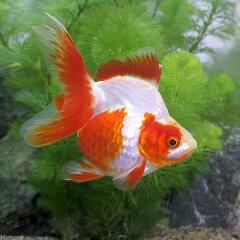 (国産金魚)更紗琉金(サラサリュウキン) 中サイズ 2歳(1匹)