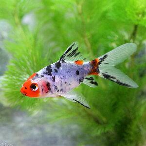 【まとめ割】(国産金魚)朱文金(3匹)