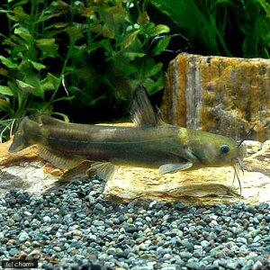 (淡水魚)アリアケギバチ(1匹)