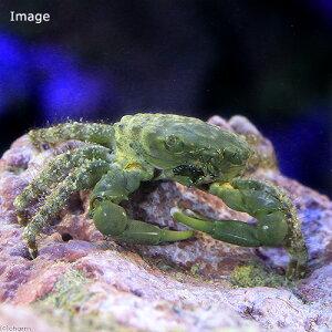 海水魚・無脊椎動物>カニ/カニダマシ>カニ・クラブ(海水 無脊椎)エメラルドグリーンクラ...