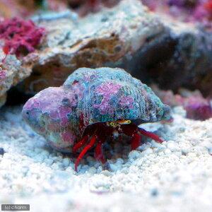 海水魚・無脊椎動物>ヤドカリ(海水 無脊椎)スカーレットリーフハーミットクラブ(1匹) 北...