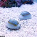 (海水 貝 無脊椎)ハナビラタカラガイ(1匹)