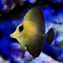 (海水魚)ゴマハギ(1匹) 北海道・九州・沖縄航空便要保温