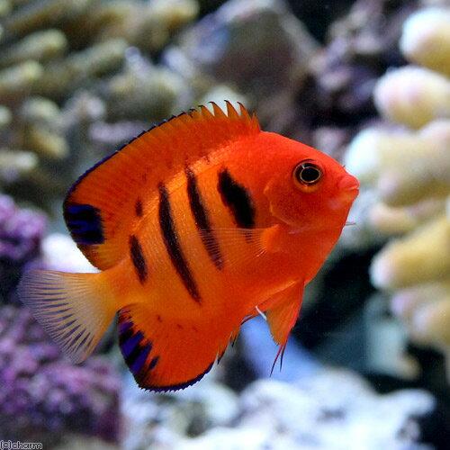 燃え上がるような赤が美しい熱帯魚!フレームエンゼル2,980円。ヤッコでは珍しい赤い体色を持つピグミーエンゼルです