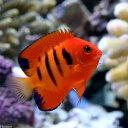 燃え上がるような赤が美しい!◎フレームエンゼル(海水)(1匹)