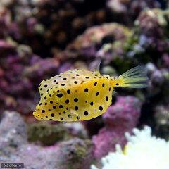海水魚・無脊椎動物>海水魚>フグ/カワハギ/モンガラ(海水魚)ミナミハコフグ Mサイズ(1...