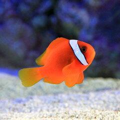 味わい深い紅が魅力!飼いやすい国産ブリード!◎ハマクマノミ(海水)(1匹)