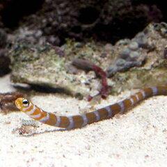 砂の中からヒョッコリ顔を出します!(海水魚)オレンジバー・ガーデンイール(1匹) 北海道・...