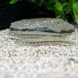金魚・メダカ・錦鯉・日淡>日本産淡水魚(日淡)>ドジョ(淡水魚)シマドジョウ Sサイズ(3匹)