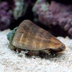 マガキ貝 SSサイズ(1匹)