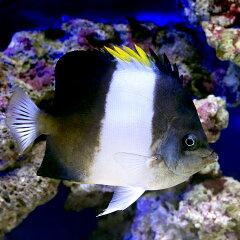 (海水魚)ブラックピラミッドバタフライ(1匹) 北海道・九州・沖縄航空便要保温