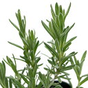 (観葉植物)ハーブ苗 ラベンダー ストエカス キューレッド 3号(1ポット) 家庭菜園