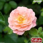 (観葉植物)バラ苗 ドリフトローズ アプリコット 3〜4号 開花終了株(1ポット)