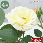 (観葉植物)バラ苗 ドリフトローズ ポップコーン 3〜4号 開花終了株(1ポット)