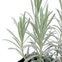 (観葉植物)ハーブ苗 ラベンダー ラバンジン スコティッシュコテージ 3号(1ポット) 家庭菜園