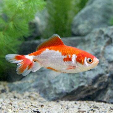 (国産金魚)更紗和金 平賀養魚場産(1匹)