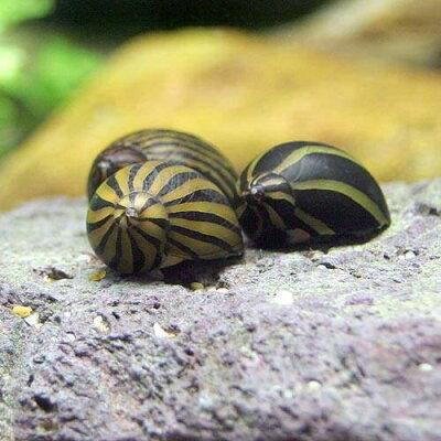 水槽や石の表面のコケを食べる!(エビ・貝)シマカノコ貝(4匹) 北海道・九州・沖縄航空便要...