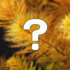 無農薬!セットで超特価!(水草)おまかせミリオフィラム(水上葉) 2種×5本セット(無農薬...