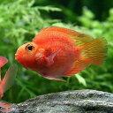 (熱帯魚)パープルパロットファイヤー・シクリッド(1匹)