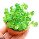 (水草)素焼き鉢 グリーンロタラ(水上葉)(無農薬)(1鉢) その1