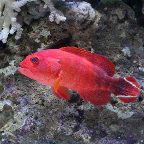 (海水魚)ニジハタ MLサイズ(1匹)