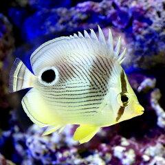 雑食性で飼育しやすい!(海水魚)フォーアイバタフライ(1匹) 北海道・九州・沖縄航空便要保温