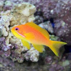 鮮やかなオレンジ!(海水魚)東アフリカ産 キンギョハナダイ メス(1匹) 北海道航空便要保温