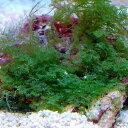 趣のあるレアな海藻♪(海水 海草)ヒメシダヅタ 岩付き Sサイズ(1個) 北海道・九州・沖...