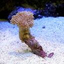 (海水魚 サンゴ)沖縄産 ウミキノコ ロングポリプ SSサイズ(1個) 北海道・九州航空便要保温