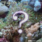 (海水魚 サンゴ)お一人様5点限り おまかせプチサンゴ(ソフトコーラル)(1個) 北海道・九州航空便要保温