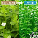 (水草)バコパ モンニエリ(水上葉)(無農薬)(10本)
