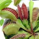 虫を捕食する脅威の植物!一風変わったインテリアにも!(食虫植物)ハエトリソウ 3号(1ポット)