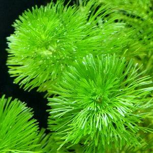 水草・流木・石>金魚藻>カボンバ(水草)メダカ・金魚藻 カボンバ(バラ10本)