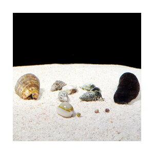 C.P.Farm直送(海水魚無脊椎)おすすめクリーナーセット(ナマコ・貝・ヤドカリ)60cm水槽用(0.56個口相当)別途送料