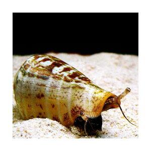 C.P.Farm直送(海水魚貝)マガキガイ殻長5cm前後1個体(0.08個口相当)別途送料海水クリーナー