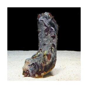 C.P.Farm直送(海水魚貝)ヒリョウガイ1個体(0.08個口相当)別途送料海水クリーナー