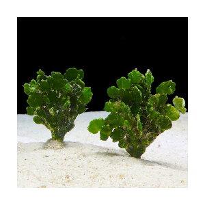C.P.Farm直送(海水魚海藻)石垣島産コサボテングサ30本(0.24個口相当)別途送料海水海草
