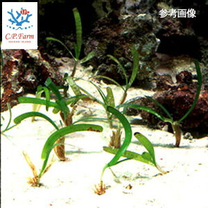 C.P.Farm直送(海水魚海草)石垣島産リュウキュウアマモ100株(0.32個口相当)別途送料海水海草
