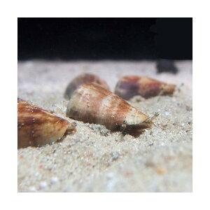 C.P.Farm直送(海水魚貝)石垣島産マガキガイ殻長約3〜4cm3個体(0.12個口相当)別途送料海水クリーナー