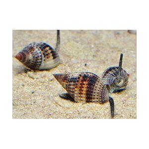 C.P.Farm直送(海水魚貝)石垣島産リュウキュウムシロガイ5個体(0.12個口相当)別途送料海水クリーナー
