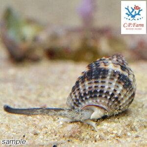 C.P.Farm直送(海水魚貝)石垣島産リュウキュウムシロガイ10個体(0.12個口相当)別途送料海水クリーナー